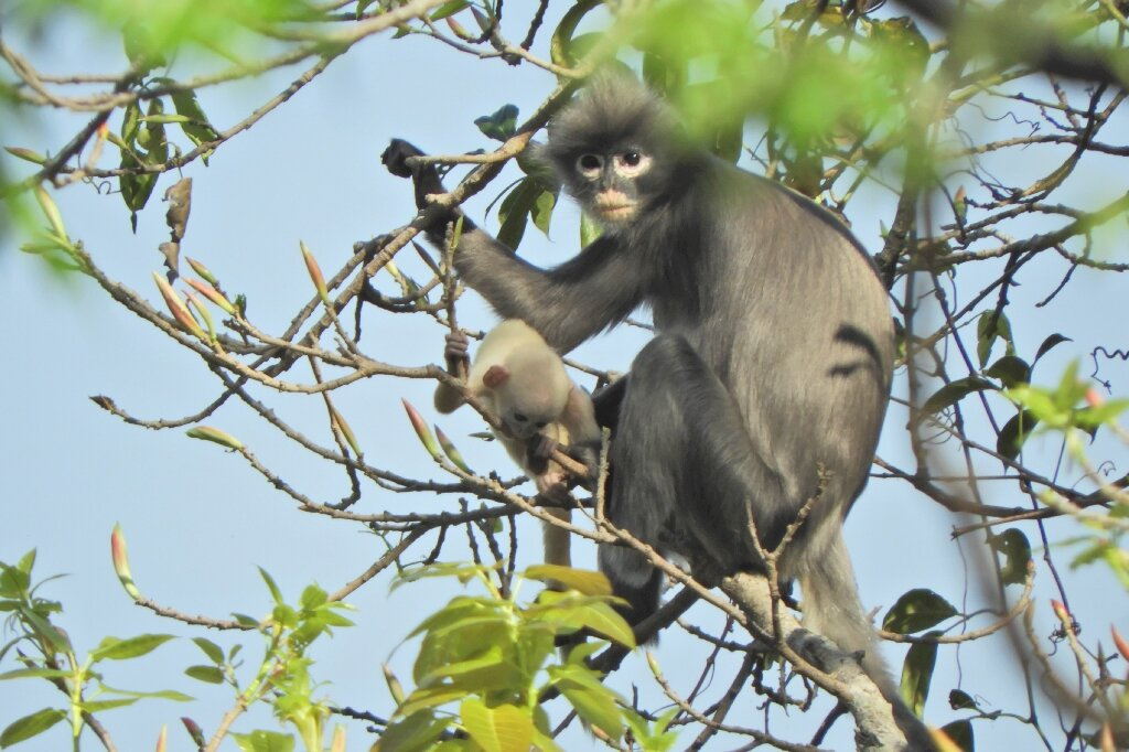 Newly discovered primate are already facing extinction